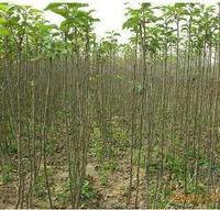 供应樱花小苗价格1元一棵,榕新苗圃供应樱花小袋苗几十亩地。