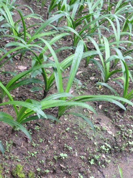 供应蜘蛛兰小苗高10至30公分高多少钱、问蜘蛛兰小苗价格找榕新苗圃