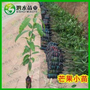 广西最大的象牙芒果苗批发市场图片