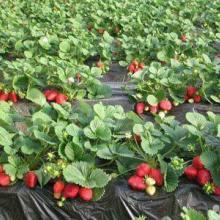 供应草莓苗,优质草莓苗,优质草莓苗价格