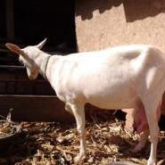 奶山羊品种图片
