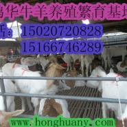 山东波尔山羊羊羔什么价格图片
