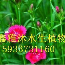 供应焦作草花种植,厂家种植睡莲,荷花,芦竹,香蒲,千屈菜,菖蒲等水生植物批发