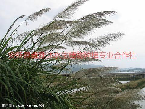 供应固原种植芦苇,芦苇种植哪家好,芦苇种植技术,荷花种植方法