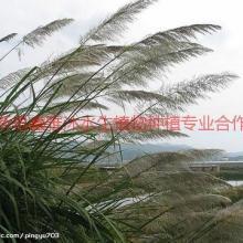 供應固原種植蘆葦,蘆葦種植哪家好,蘆葦種植技術,荷花種植方法,生態浮島制作圖片