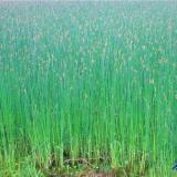 供应本溪市水葱种植,水葱种苗批发,水葱销售企业,水葱种植方法