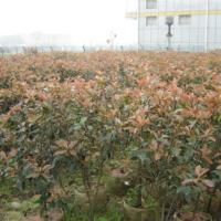 供应精品180高度红叶石楠苗最便宜5000棵漳州最大批商