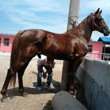 供应蒙古马,蒙古马的养殖基地蒙古马的价格养蒙古马怎么样批发