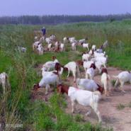 黑龙江波尔山羊养殖基地图片