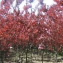 红叶紫荆图片