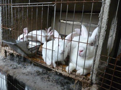 獭兔最新行情_河北有獭兔养殖场吗图片