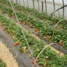 供应山东优质草莓苗、泰安优质草莓苗、泰安草莓苗基地、山东草莓苗基地