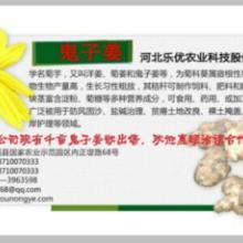 供应菊芋种球