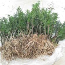 苗木繁育基地批发红豆杉