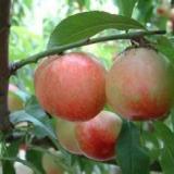 供应陕西杏苹果红香酥梨西瓜销售价格