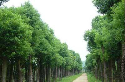 供应海南香樟供应商,海南香樟供应批发,海南香樟种植基地