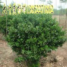 辽宁球类植物绿化苗木