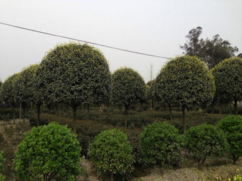 供应温江特色苗木图片