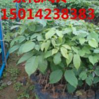 供应树菠萝,树菠萝袋苗,树菠萝种苗批发,30公分高数菠萝价格