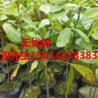 供应40公分高细叶榄仁树苗,30公分高红桂木小苗,绿化树苗批发报价