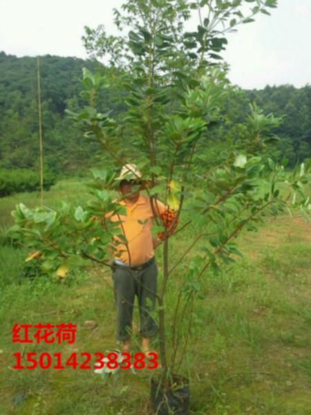 供应红花荷木苗最低报价,红花荷价钱,黎蒴苗最低价格,绿化小苗最低价
