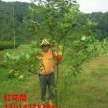 供应广东广州40公分高红花荷大苗供应,30公分高红花荷,绿化种苗批发
