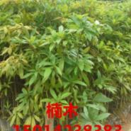 广东枫香袋苗价格图片