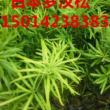 供应罗汉松袋苗广东30公分高罗汉松苗,台湾罗汉松批发,造林种苗