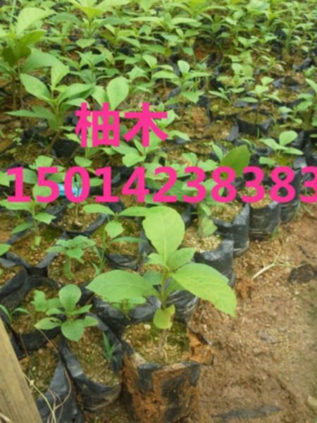 供应广东30公分高柚木供货商报价,柚木小苗清货价,柚木种苗批发