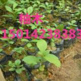 供应柚木供应商,广州20公分高柚木袋苗批发,30公分高柚木种苗报价