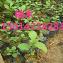 供应30公分高黎蒴种苗柚木苗,40公分高火力楠树苗,30公分高绿化苗