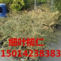 供应广东30公分高细叶榄仁最低报价,细叶榄仁小苗,细叶榄仁苗供应商