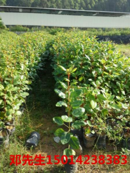 供应广东30公分高绿化小苗价格,开花树苗报价,红花荷供应商基地