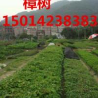 供应广州30高樟树树苗批发苗,40公分高樟树小苗价格,樟树袋苗供应商