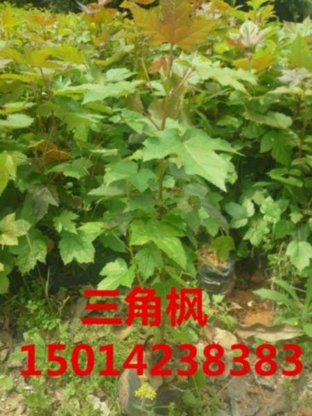 供应广东30公分高三角枫最低报价,三角枫便宜价钱,三角枫小苗供应商