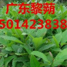 供应广东广州黎蒴,广东广州40公分高黎蒴袋苗批发,黎蒴种苗