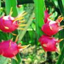 海南特产仙人掌果图片