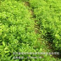 简阳市科华苗木-大量售优质柠檬苗