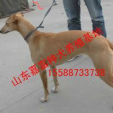 供应格力犬灵缇犬2-3个月纯正格力犬,批发