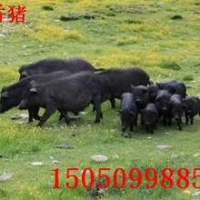供应山东藏香猪养殖