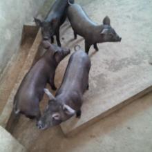 供应芜湖苏太黑猪价格 安庆莱芜北京黑猪价格 安庆苏太黑猪报价多吗