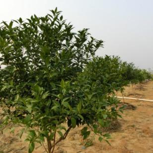 重庆沃柑小苗种芽图片