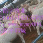 最新肉羊价格图片