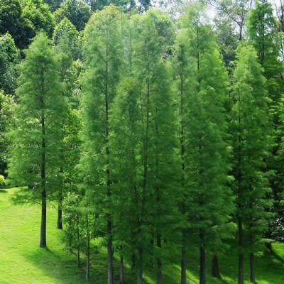 供应江苏池杉树供应图片
