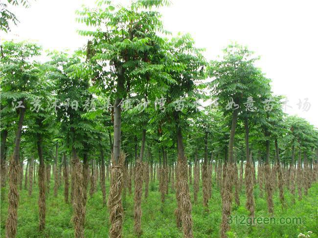 供应栾树苗木优质种苗批发图片