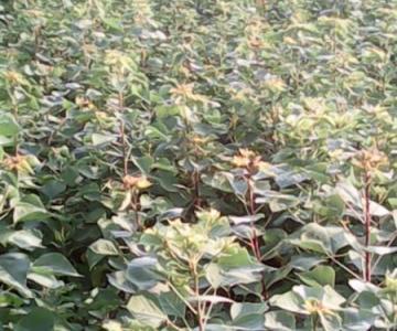 供应乌桕树种植批发,开始乌桕树苗木种植批发图片