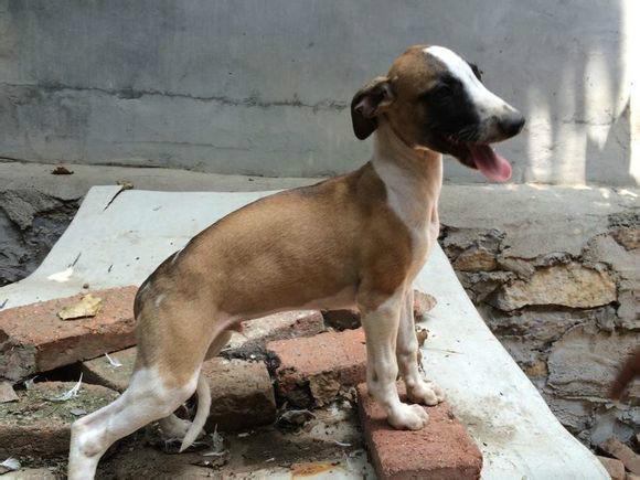 供应惠比特小犬多少钱/惠比特幼犬价格图片