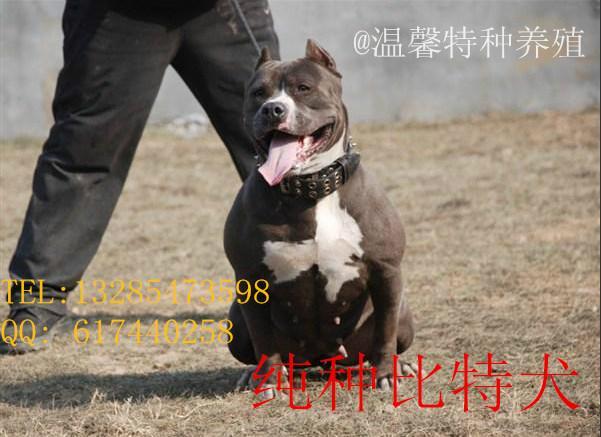 供应比特犬多少钱比特犬幼犬/比特犬图片