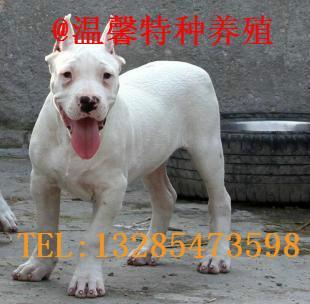 供应杜高犬价格/杜高犬多少钱/杜高犬图片