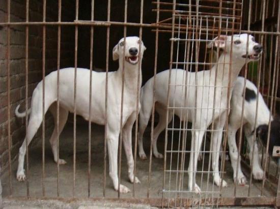 供应惠比特犬多少钱/惠比特是什么狗图片